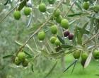 Ölümsüz Ağaç Zeytin – Kutsal Tören