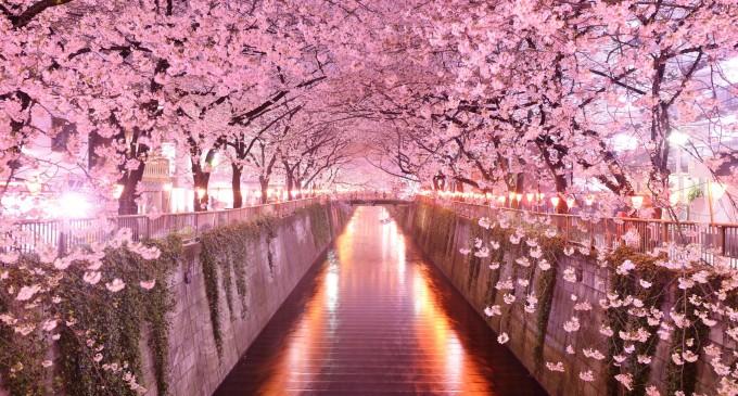 Sakuro: Kiraz Çiçeği