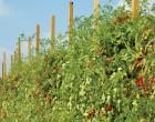 Tut ki bir domates ektin bahçeye…