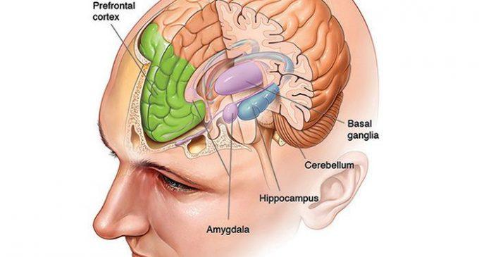3. Beynimiz: Beyin, Kalp ve Bağırsaklar